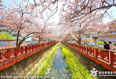 Bunga sakura di Jinhae Korea