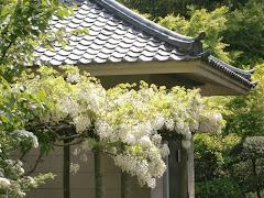 浄妙寺のフジ