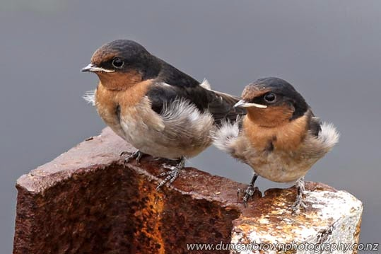 Baby swallows in Napier photograph