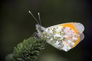 Para ampliar Anthocharis cardamines (Mariposa aurora, musgosa), macho reverso hacer clic