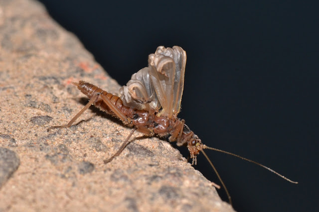 winter stonefly with unfurling wings