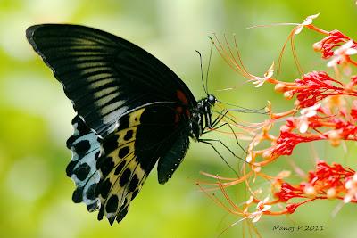 Blue Mormon Butterfly -  Papilio polymnestor Cramer.
