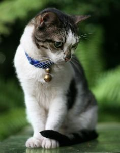 cat with blue collar and two bells