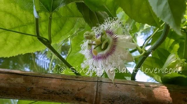 Passion flower singapore
