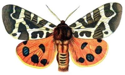 Quelonias: Las Mariposas Venenosas.