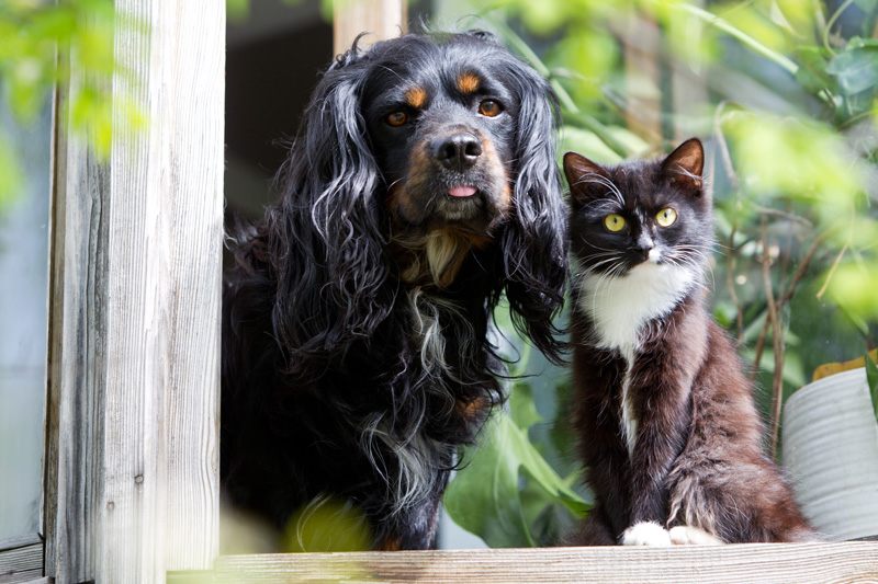 A black-and-white kitten and a spaniel at the window of a house in summer
