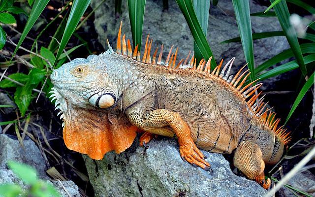 Iguana sobre una piedra