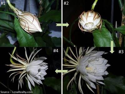 Bunga Bakawali