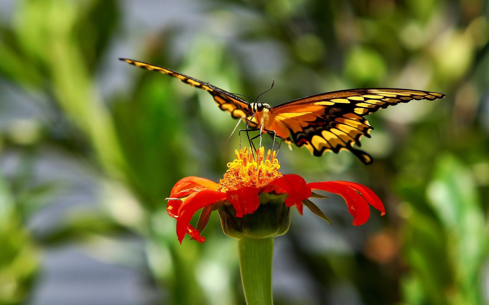 Butterfly Feeding Nectar