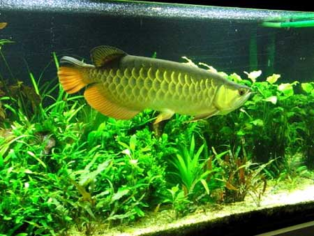 Lucky Charms Animals In The World Arowana