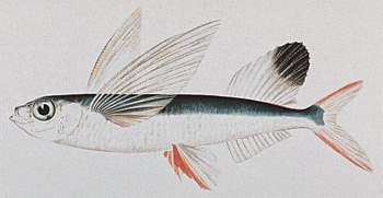 Scientists Speculate on How Flying Fish 'Evolved'