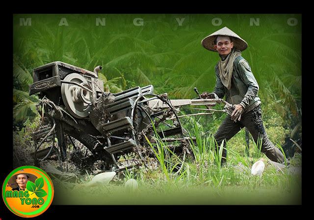 Pengolahan tanah sawah untuk menanam padi.