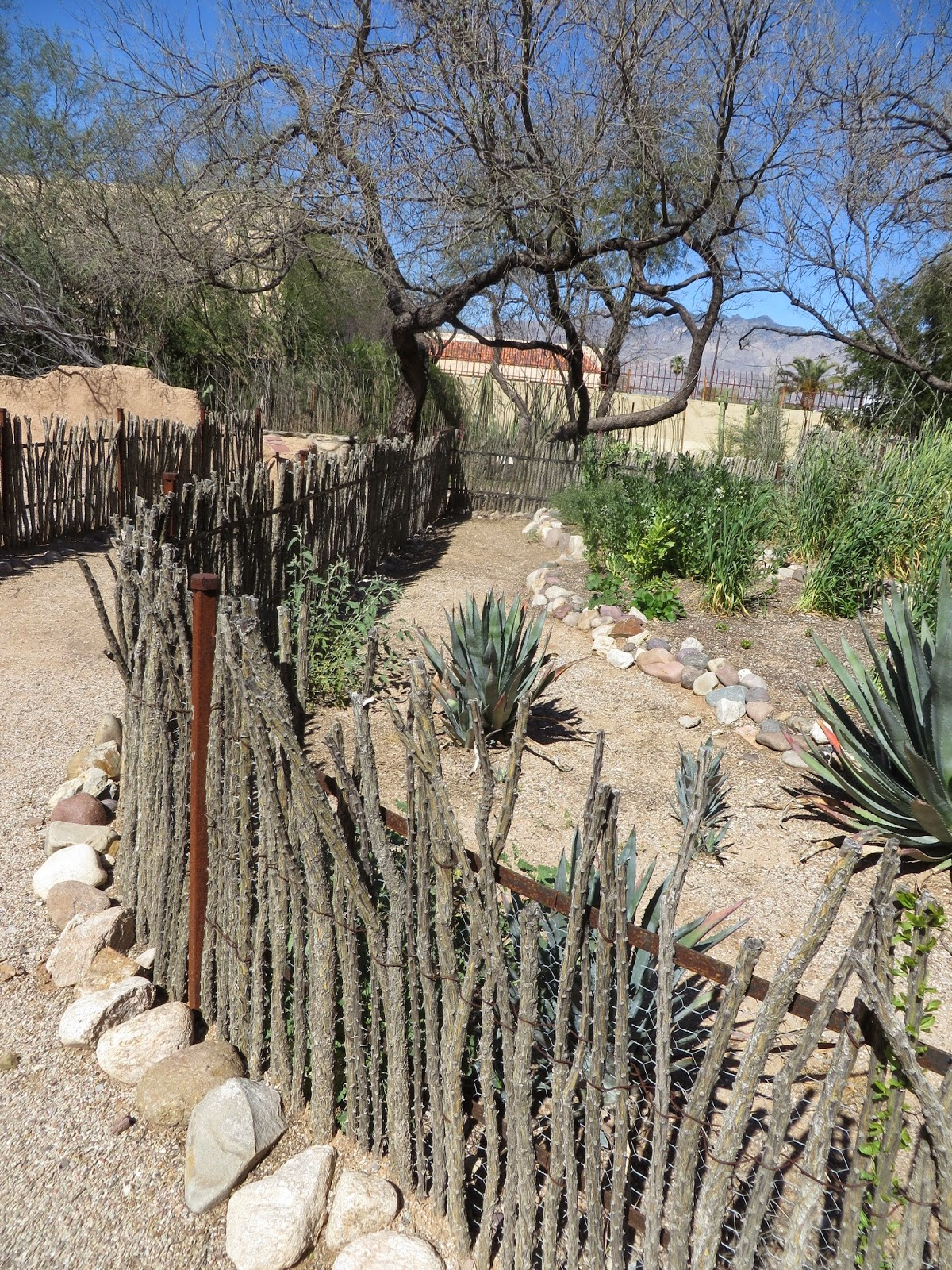 Ocotillo Cactus Fence Ever Ready: Tucson Bot...