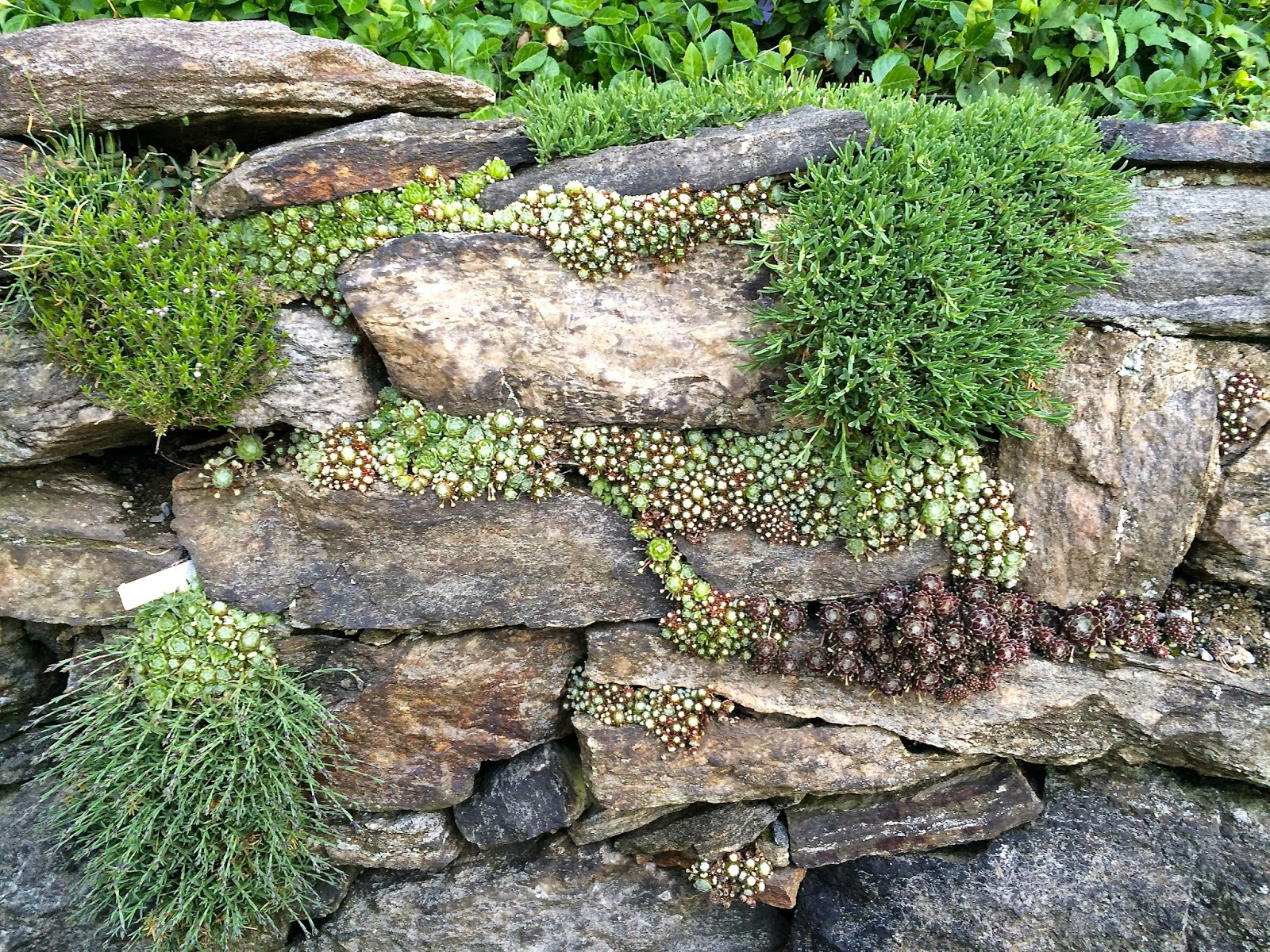 Slow love life wave hill alpine wall of jewels for Rock wall garden