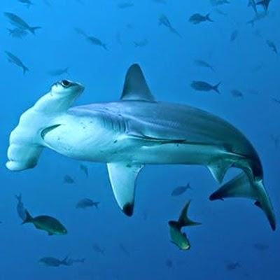 Eles nem perceberam quando um grande tubarão martelo se aproximou