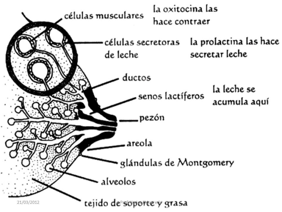 La Citología Mamaria Benigna: Anatomía e Histología de La Glándula ...