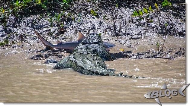 cocodrilo atrapa tiburón