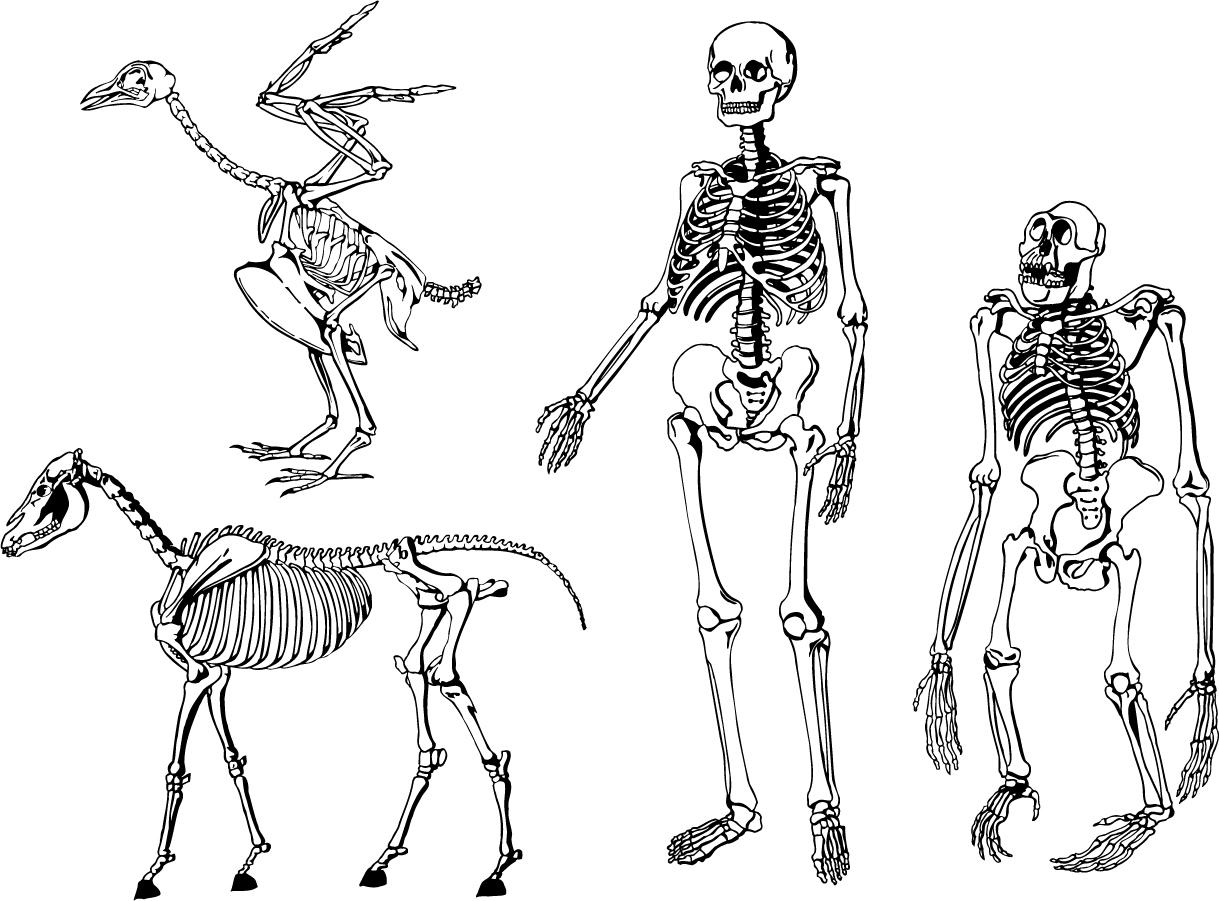 u52d5 u7269  u4eba u9593 u306e u9aa8 u683c u69cb u9020 animal human skeleton structure  u30a4 u30e9 u30b9 u30c8 u7d20 u6750