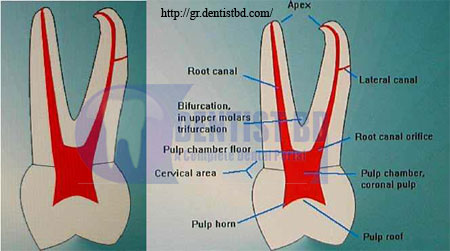 1 Root canal morphology of the maxillary first premolar
