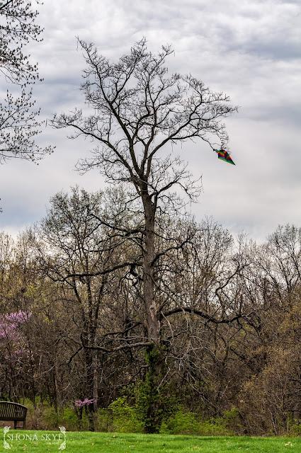 The Kite-Eating Tree, Charlie Brown, Laumeier Park, St. Louis, MO, Missouri