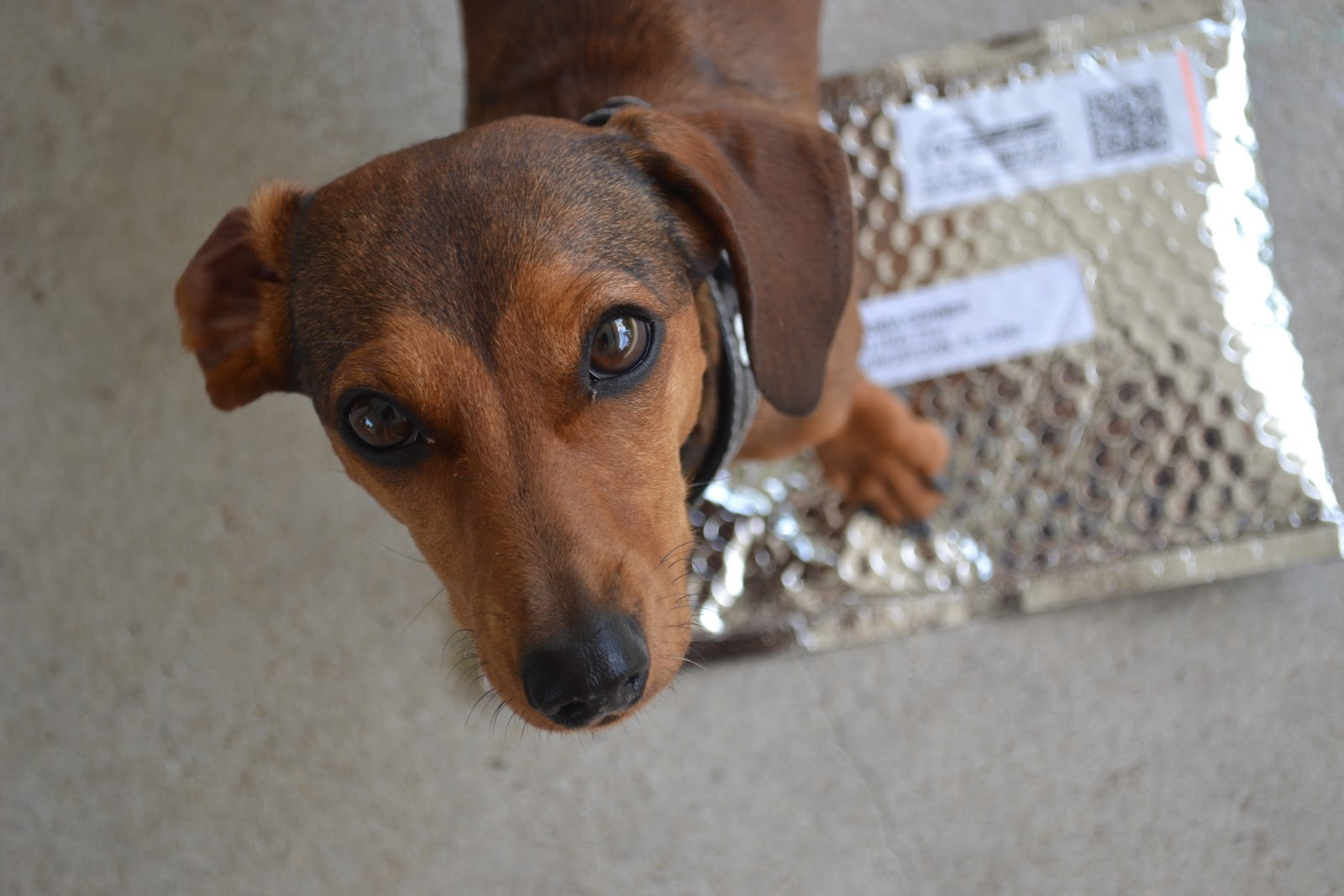 Displaying 18> Images For - Dachshund Mixed With Great Dane...