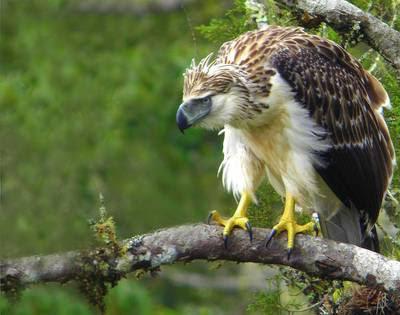 Falconiformes. Família  Acciptridae - Subfamília Buteonidade-Águias coroadas - gênero Pitecophaga jefferyi . Águia das Filipinas. Great+Philippine+Eagle