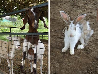 Mango Tours Tagaytay Paradizoo Goat Rabbit