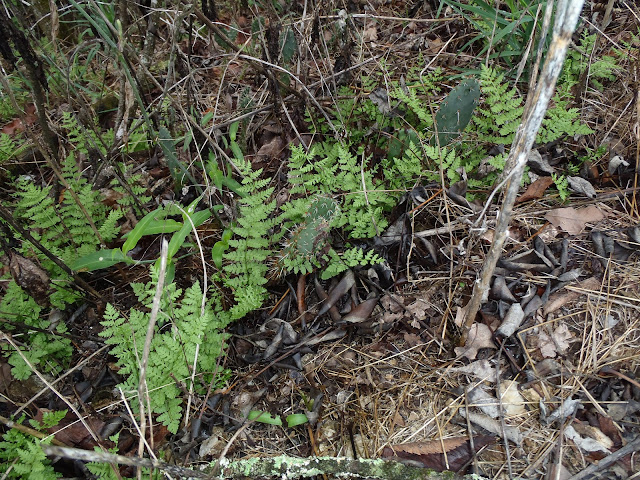 Ferns and Cacti, Buffalo River National Park, Tyler Bend Trails