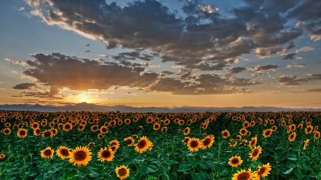 Sun Flowers HD Wallpaper