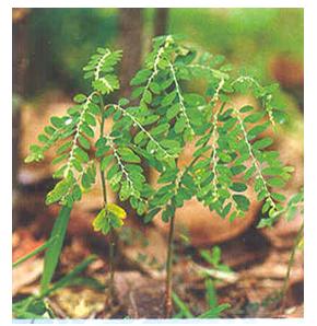 "Medicinal Uses of Phyllanthus Amarus,"" Bhui-amla"",""Bhui-amalaki, Tamalki"",Herbal Medicinal Plant,Herbal Medicos"