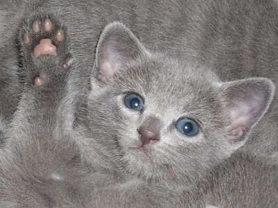 Gato Russian Blue