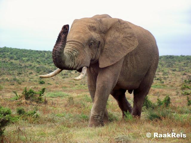 Die eerste en grootste dier op die lys is die olifant wat tot die