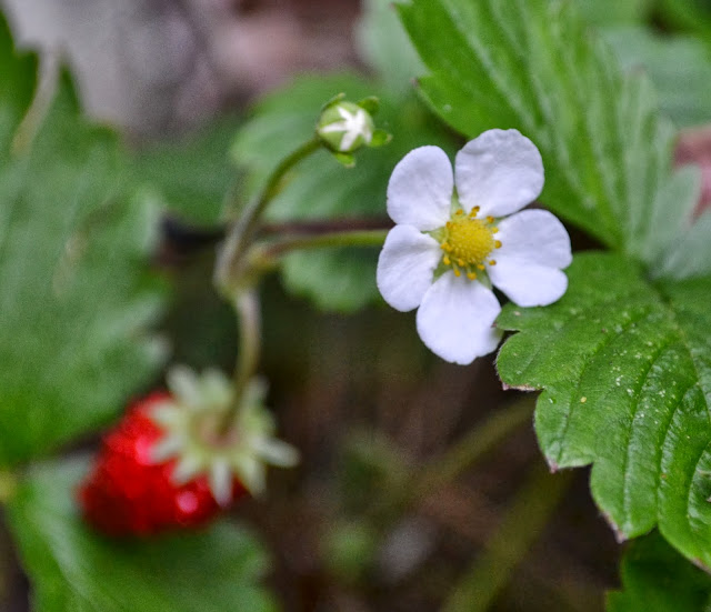 fraise des bois, alpine strawberry, http://growingdays.blogspot.com