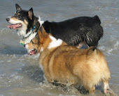 Outer Banks Corgis