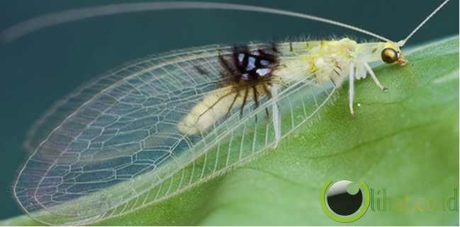 Kupu-kupu tanpa sayap