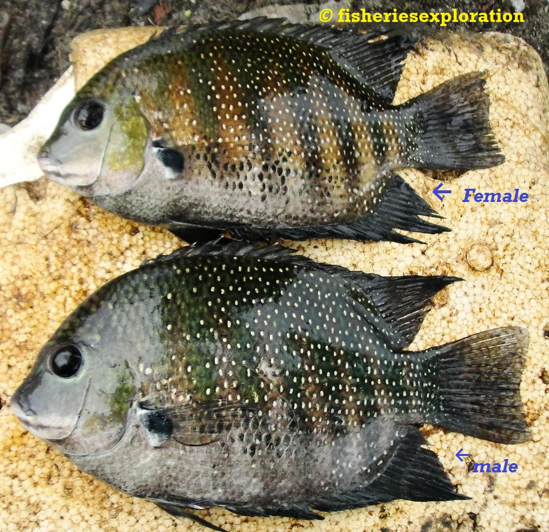 Freshwater fish kerala - The Fish Known Locally In Kerala As Karimeen Is Considered A Delicacy Some Of The Prominent Dishes Are The Karemeen Fry Karemeen Molly And Karemeen