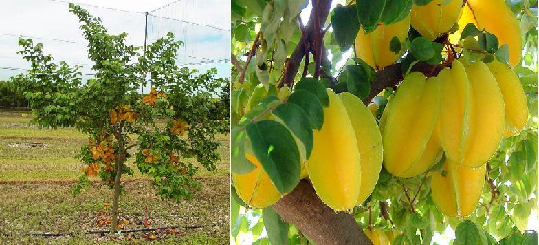 Carambola fruta estrella venta de arbolitos averrhoa for Vivero online arboles