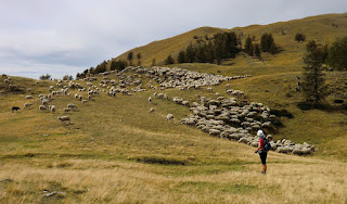 Sheep flock on the way to Cime du Pisset
