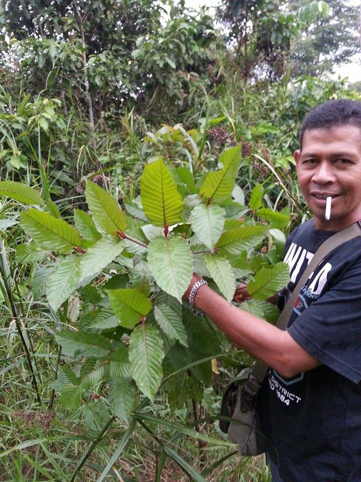 the Kratom Plant