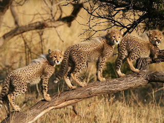 cheetah cubs south africa 990x742.jpg