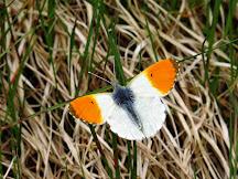 Fjärilsdagbok