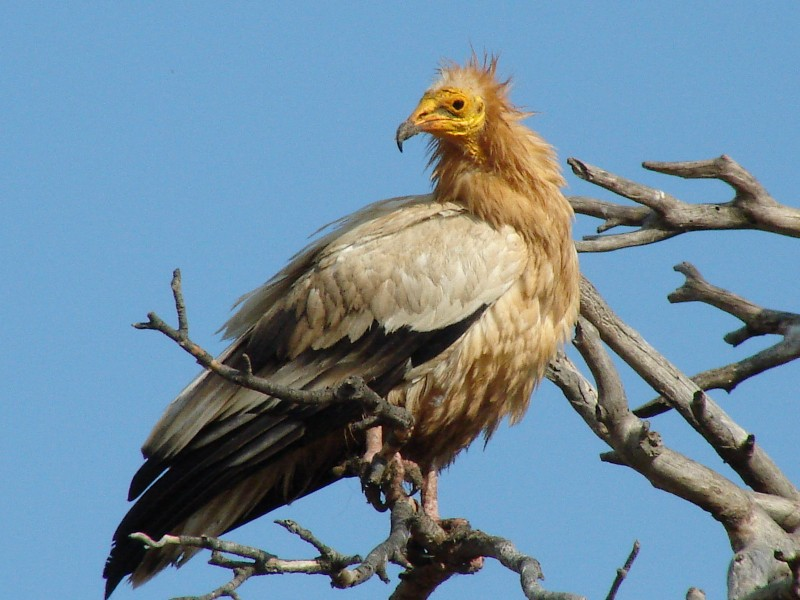 WildLife: Egyptian Vulture Beautiful Bird In The World