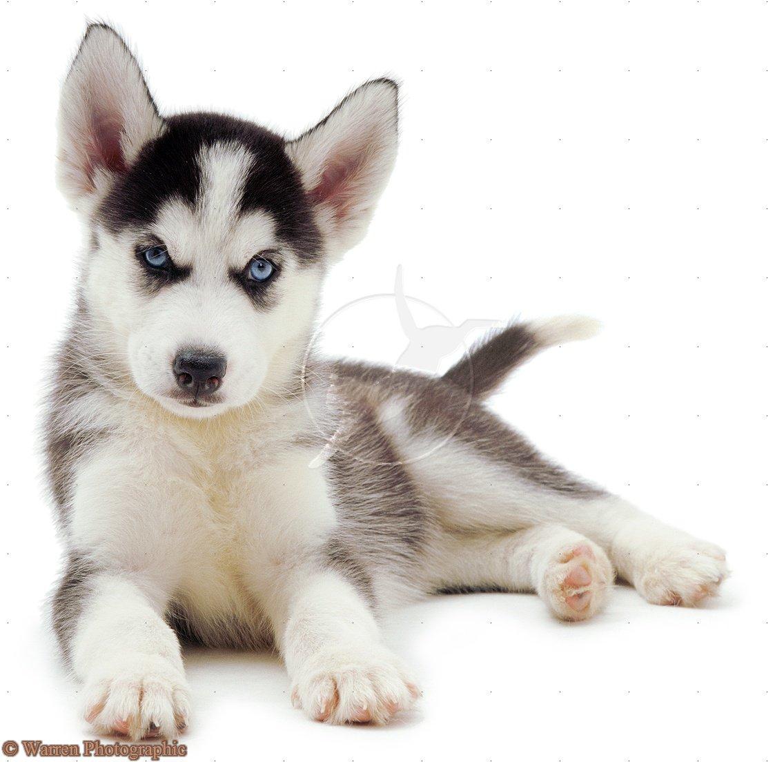 white siberian husky puppies - photo #49