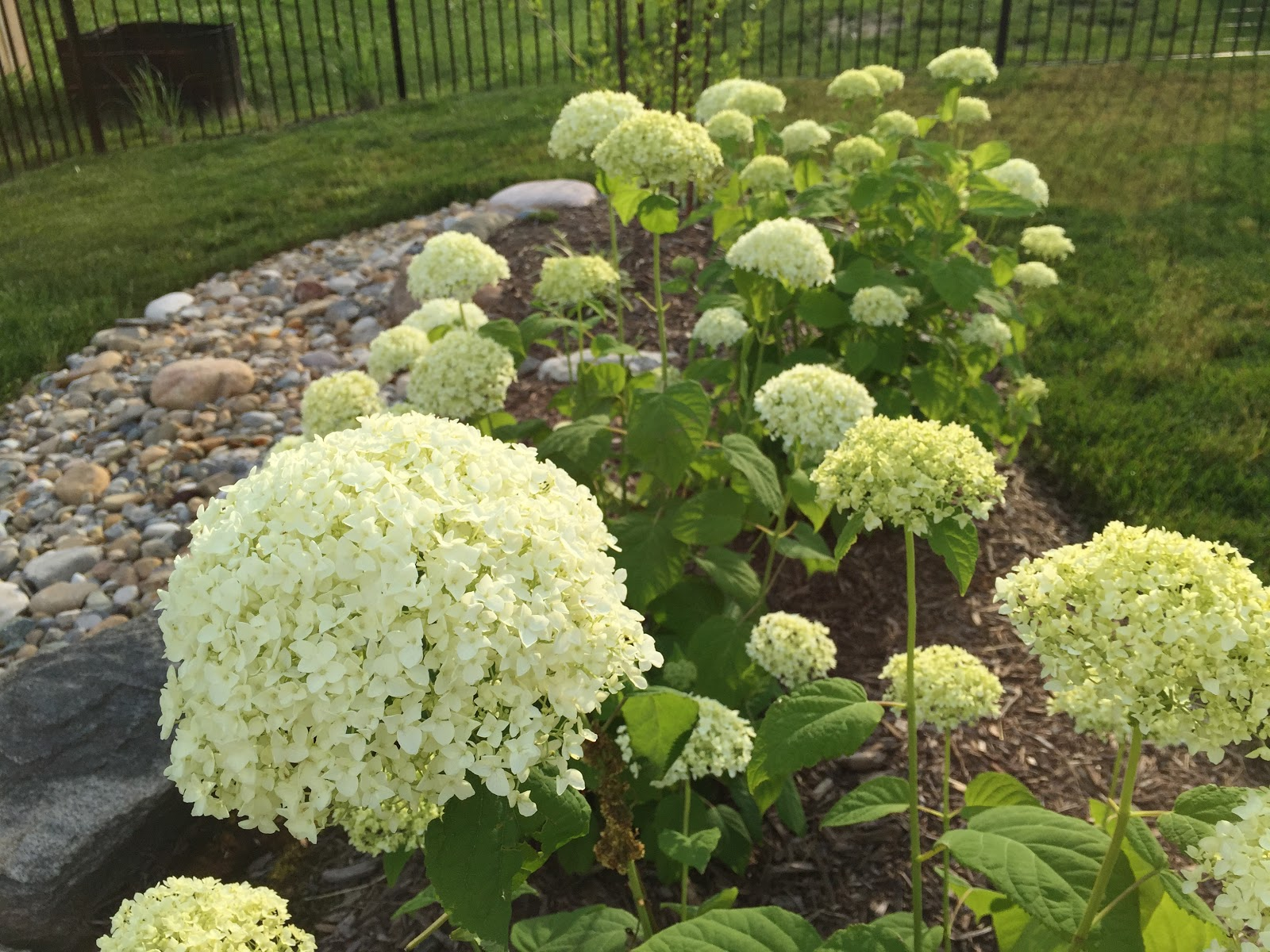 Real Staying Power Annabelle Hydrangea And Dusseldorf
