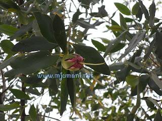 Foto Bunga Rambai