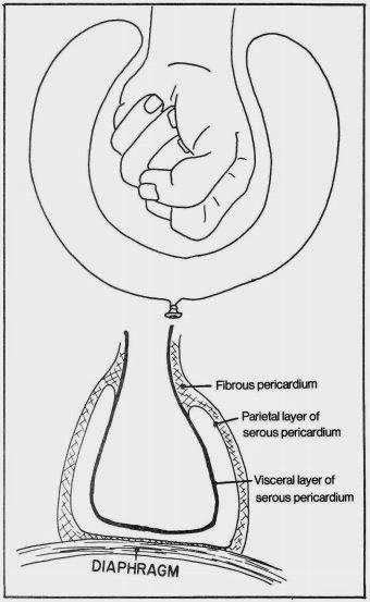 visceral and parietal layer of serous pericardium