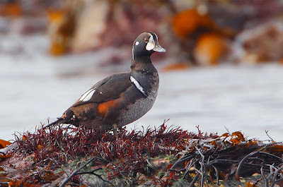 Harlequin Duck, Balranald - Kit Day