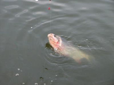 thủ thuật câu cá chép