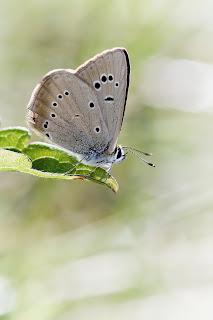 Para ampliar Polyommatus semiargus (Falsa limbada) hacer clic