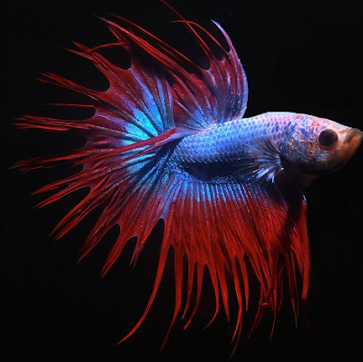 Canada stock journal siamese fighting fish for What fish are compatible with betta fish